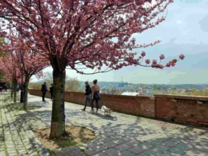 Blossoming cherry trees in the Buda Castle Area with people walking around in face masks