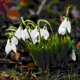 Snowdrops flowers that are the messengers of spring